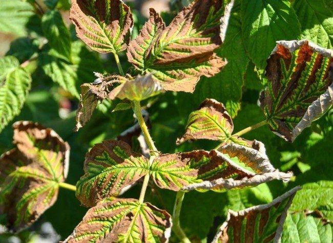 Листья малины бурого цвета