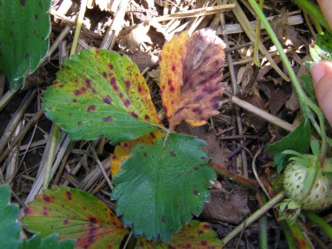 Бурый грибок на зелёный листьях клубники