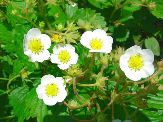Цветущая клубника в саду