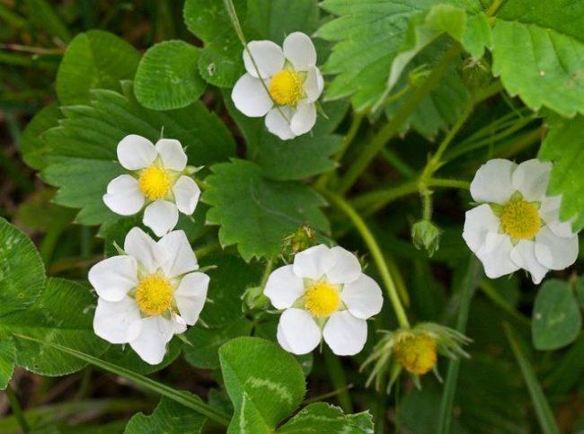 Большие белые цветки ремонтантной садовой клубники в конце мая