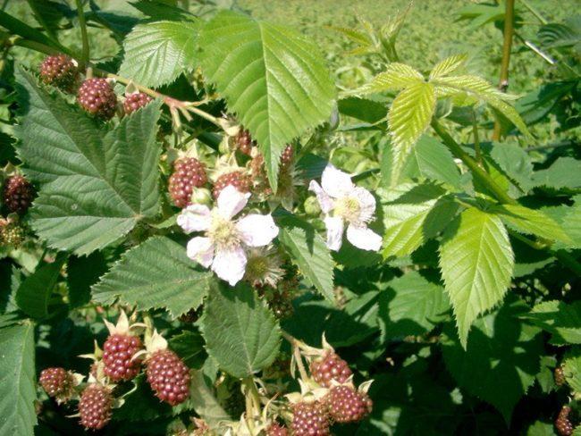 Цветки ежемалины в начале лета