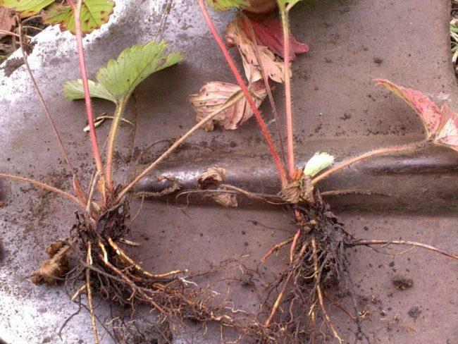 Деленки садовой клубники для размножения в своем саду