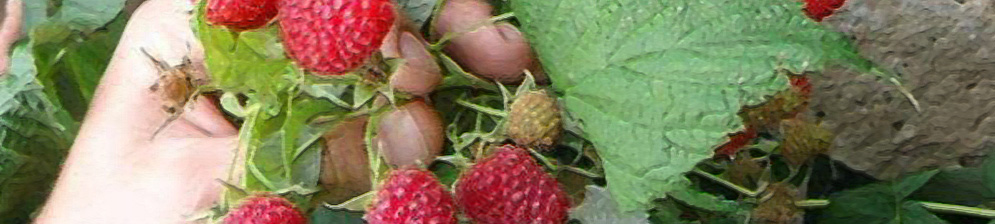 Плоды малины сорта Дочь Геракла