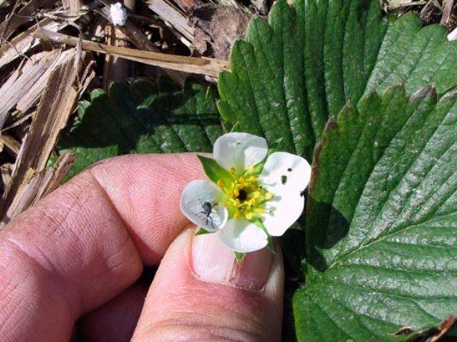 Долгоносик на цветке клубники