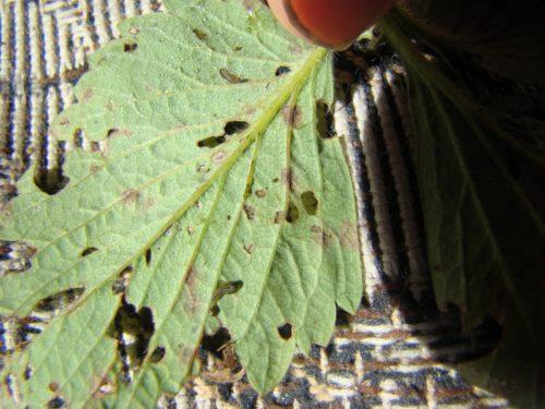 Поеденные долгоносиком листья клубники