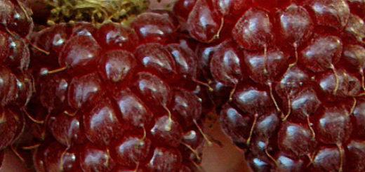 Плоды гибрида малины и ежевики Тайберри вблизи