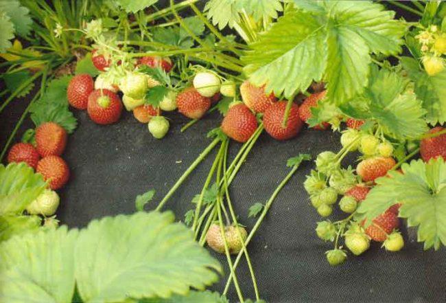 Формирование ягод клубники