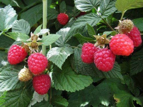 Вкусные ягоды малины Глен Ампл крепко держутся на плодоножках