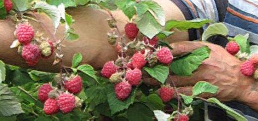 Плоды малины Глен Ампл вблизи на кусте