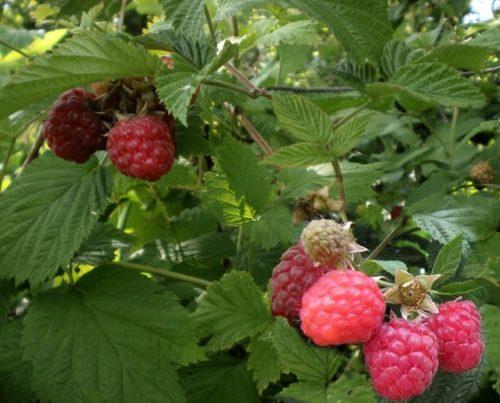 Четыре ягоды малины висят на ветке