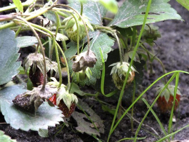 Гниющая клубника в саду на грядке