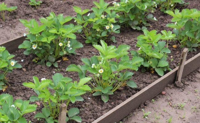 Клубничная грядка с бортиками в саду