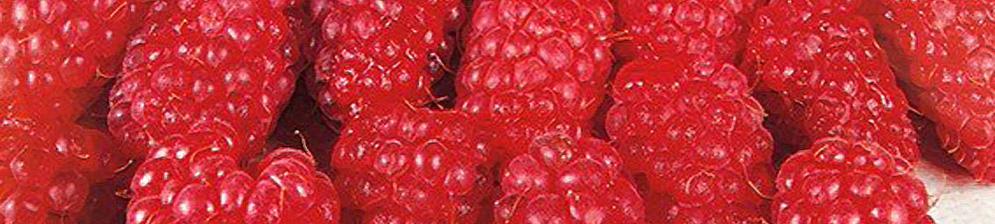 Плоды малины Гусар вблизи