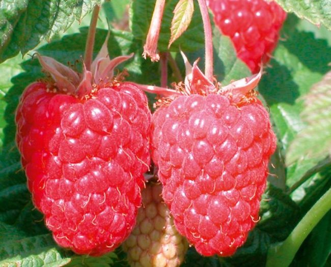 Две сочные и спелые ягоды на ветке малины сорта каскад делайт