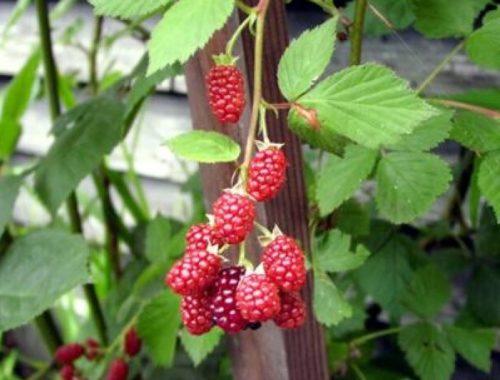 Плодовая ветка малины с двумя десятками плодами ярко-красного оттенка