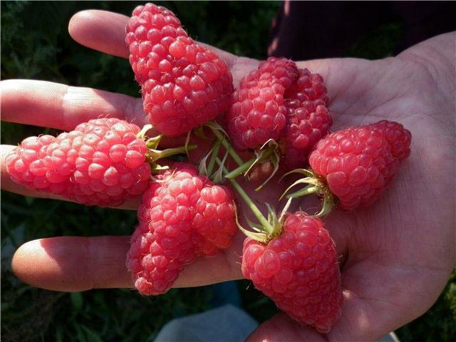 Упругие конусообразные плоды малины сорта лячка долго хранятся в холодильнике