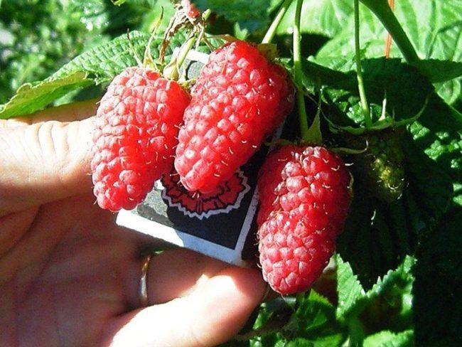Сравнение размеров спелых ягод Краса России со спичечным коробком
