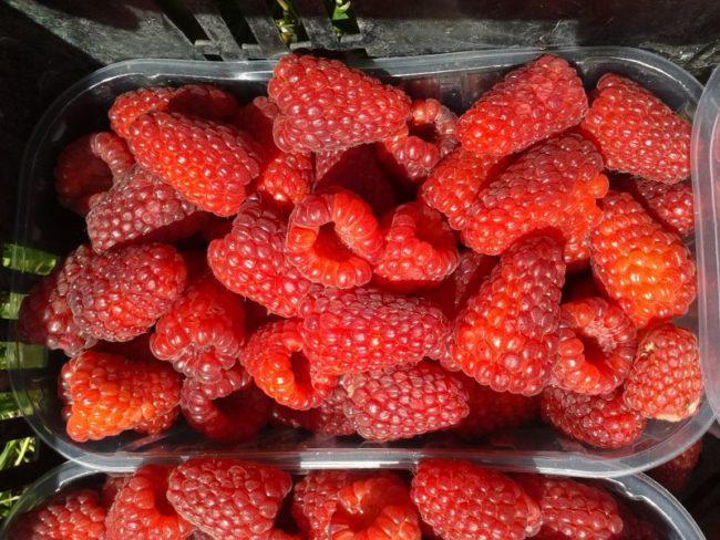 Спелые ягоды малины сорта Каскад в пластиковых контейнерах