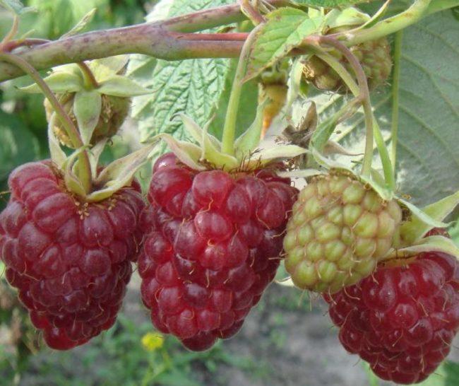 Спелые плоды малины Столичная с высоким содержанием яблоневой и лимонной кислот