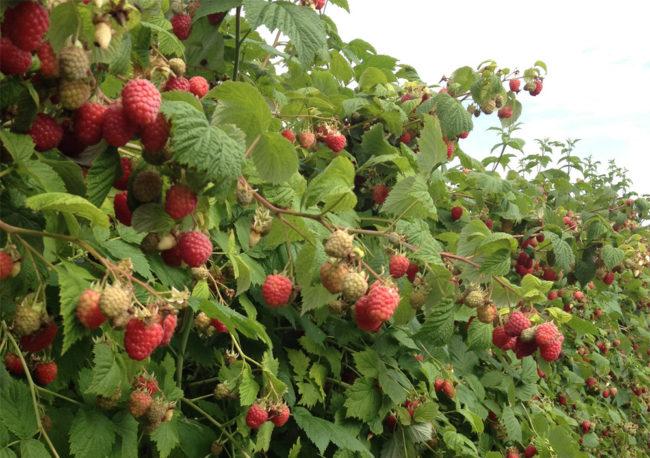 Ветки малины Вольница и поспевающие ягоды