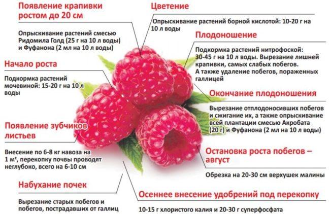Календарь сезонных работ по уходу за малиной