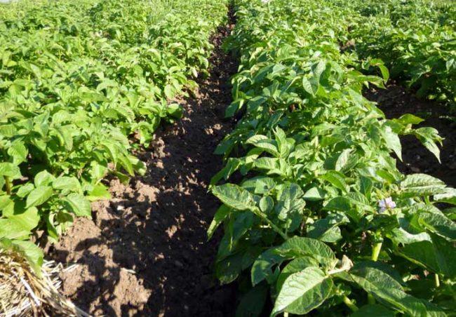 Картофельные грядки в саду