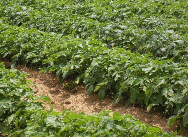 Картофельная грядка в саду
