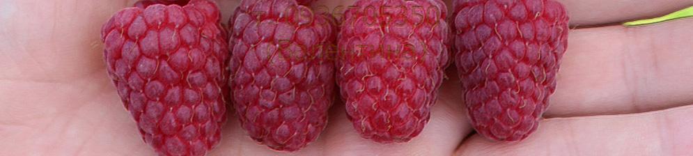 4 ягоды малины Каскад Делайт вблизи