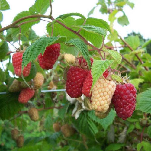 Ветка малины с крупными ягодами сорта каскад делайт