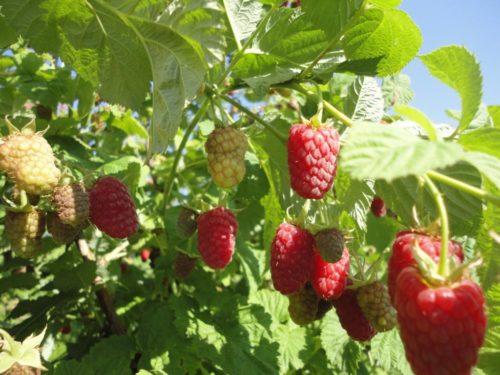 Ветки малины каскад делайт с ягодами