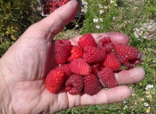 Горсть ягод малины сорта Каскад делайт