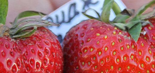 Плоды клубники Кембридж Фаворит вблизи