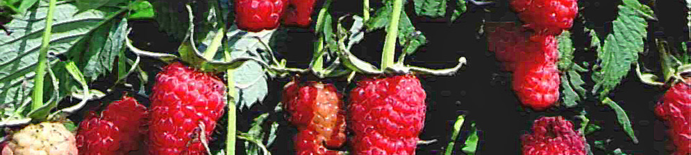 Малина Киржач плоды вблизи