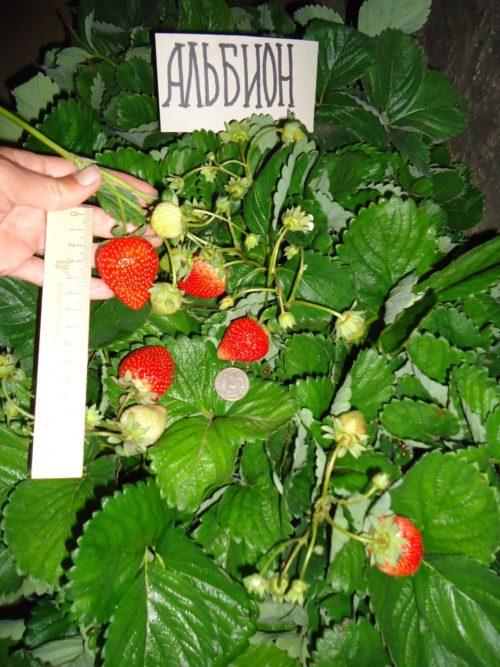 Размеры плодов клубники сорта Альбион