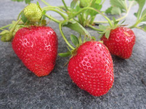Три спелые ягоды клубники Альбион