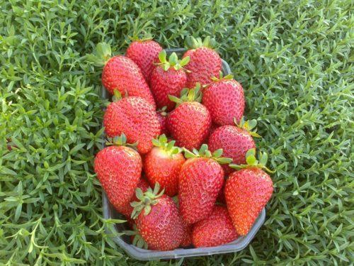 Контейнер с ягодами клубники сорта Альбион
