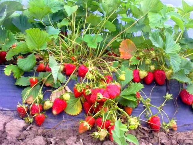Раскидистый кустик клубники со спелыми ягодами