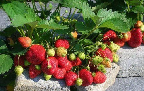 Кустик клубники с ягодами на камнях