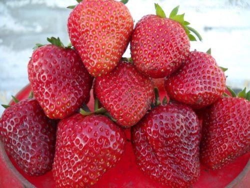Горстка спелых ягод клубники Дукат