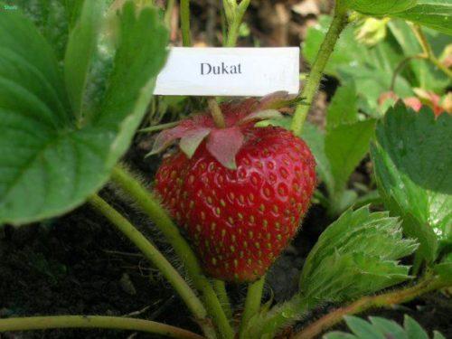 Спелые ягоды клубники сорта Дукат