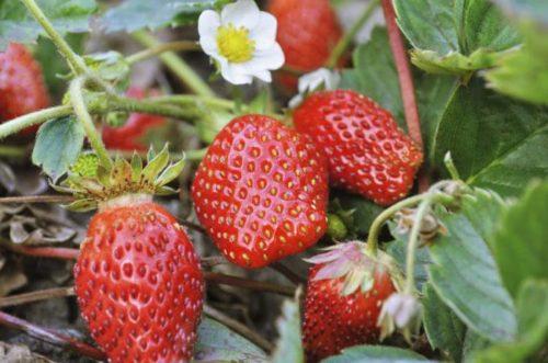 Крупные ягоды на кусту клубники Джоли
