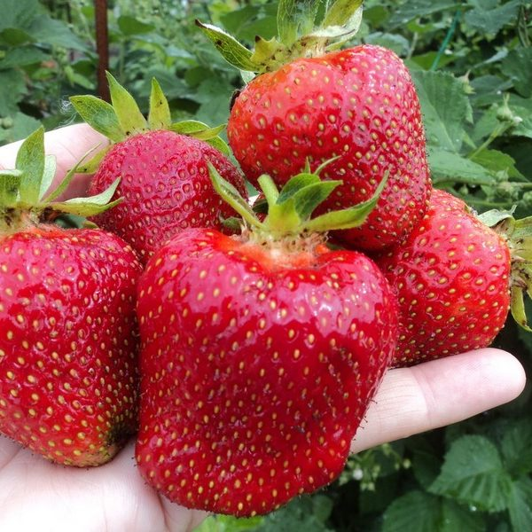 Четыре крупные ягоды Джоли в руке садовода