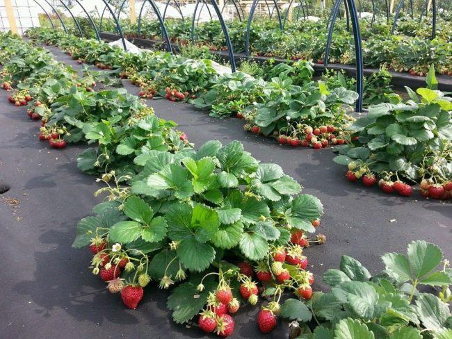 Кусты клубники со спелыми ягодами, выращенный на нетканом агротехническом материале