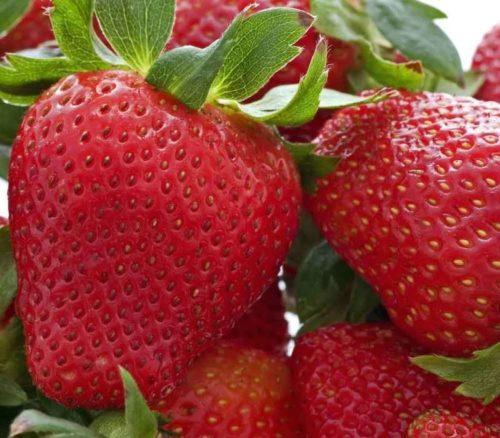Спелые ягоды клубники сорта Кембридж Фаворит