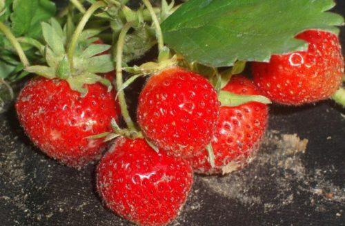 Спелые ягоды клубники Кембридж Фаворит на земле