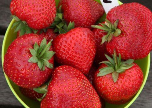Крупные ягоды клубники Кембридж Фаворит