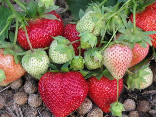 Красные и зеленые ягоды клубники