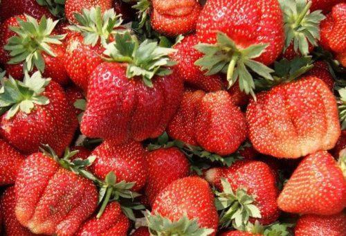 Спелые и крупные плоды клубники нового урожая
