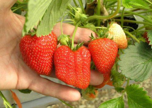 Спелые ягоды клубники на кусту