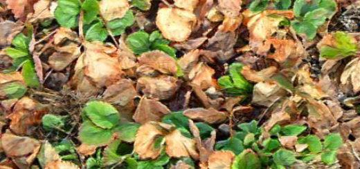 Кусты клубники осенью в старых сухих листьях